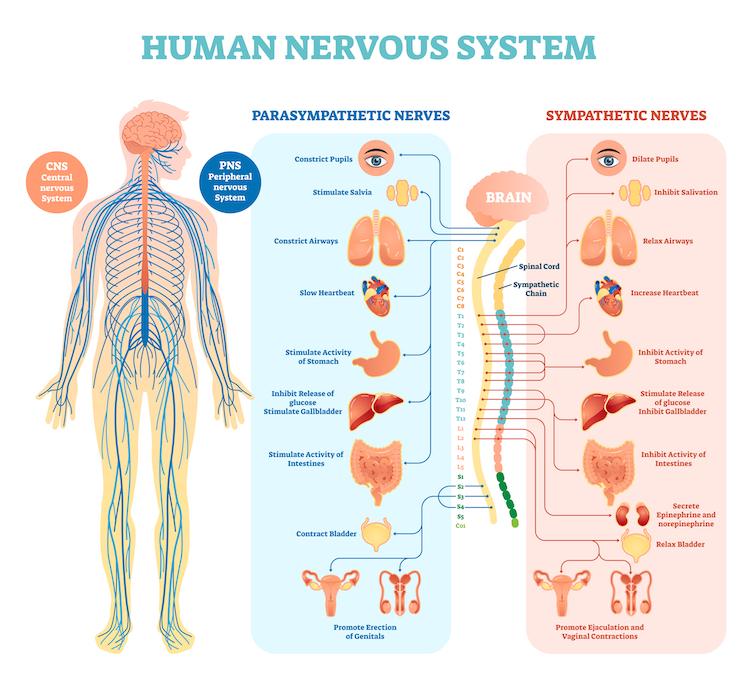 Balancing the Nervous System